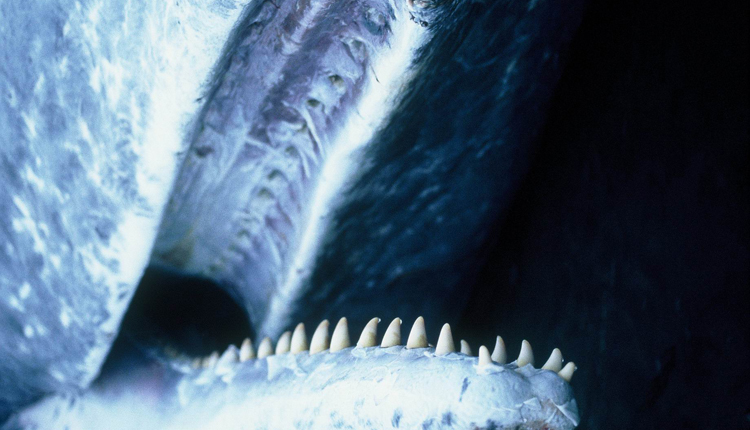Photo taken of the inside of a sperm whale's mouth. The teeth on the lower jaw fit into sockets above- perfect for eating squid.<div class='credit'><strong>Credit:</strong> Photo taken of the inside of a sperm whale's mouth. The teeth on the lower jaw fit into sockets above- perfect for eating squid.</div>