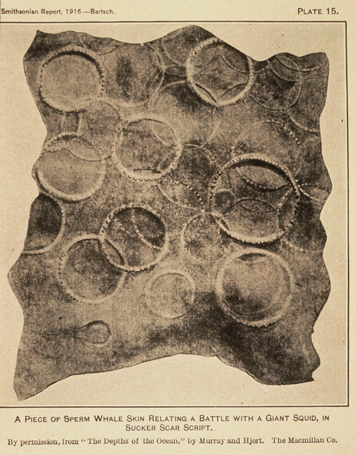 The circles on this piece of sperm whale skin are giant squid sucker marks.<div class='credit'><strong>Credit:</strong> The circles on this piece of sperm whale skin are giant squid sucker marks.</div>