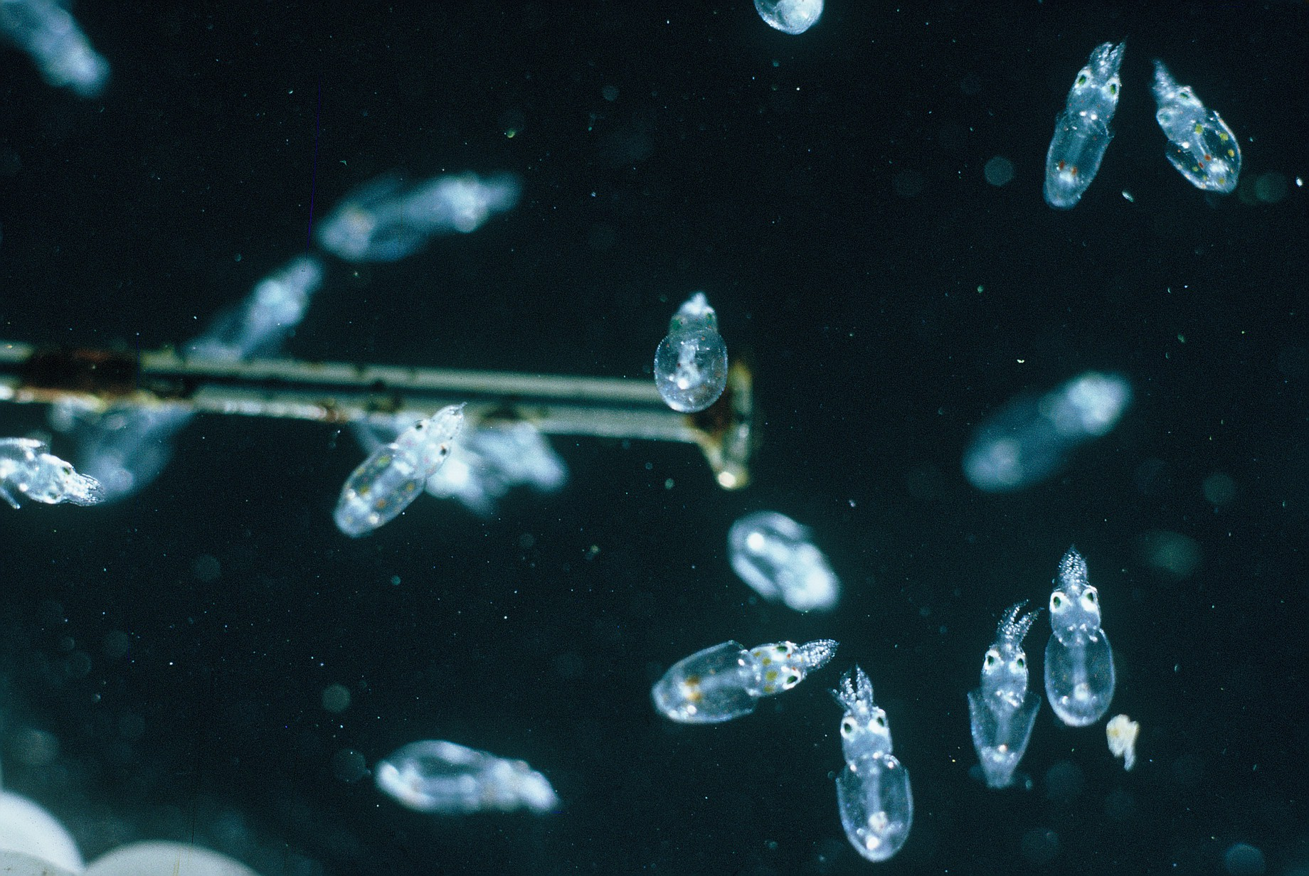 Photograph of many tiny transparent larval squid surrounding the head of a dissecting pin.<div class='credit'><strong>Credit:</strong> Photograph of many tiny transparent larval squid surrounding the head of a dissecting pin.</div>