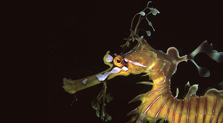 Photo of the head of a leafy seadragon<div class='credit'><strong>Credit:</strong> Photo of the head of a leafy seadragon</div>