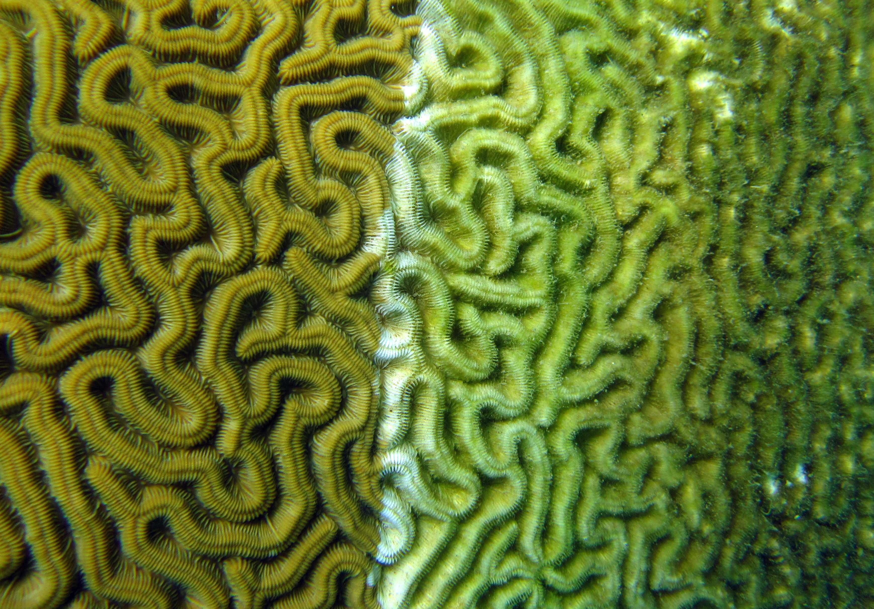 A photo of coral visibly affected by disease. <div class='credit'><strong>Credit:</strong> A photo of coral visibly affected by disease. </div>