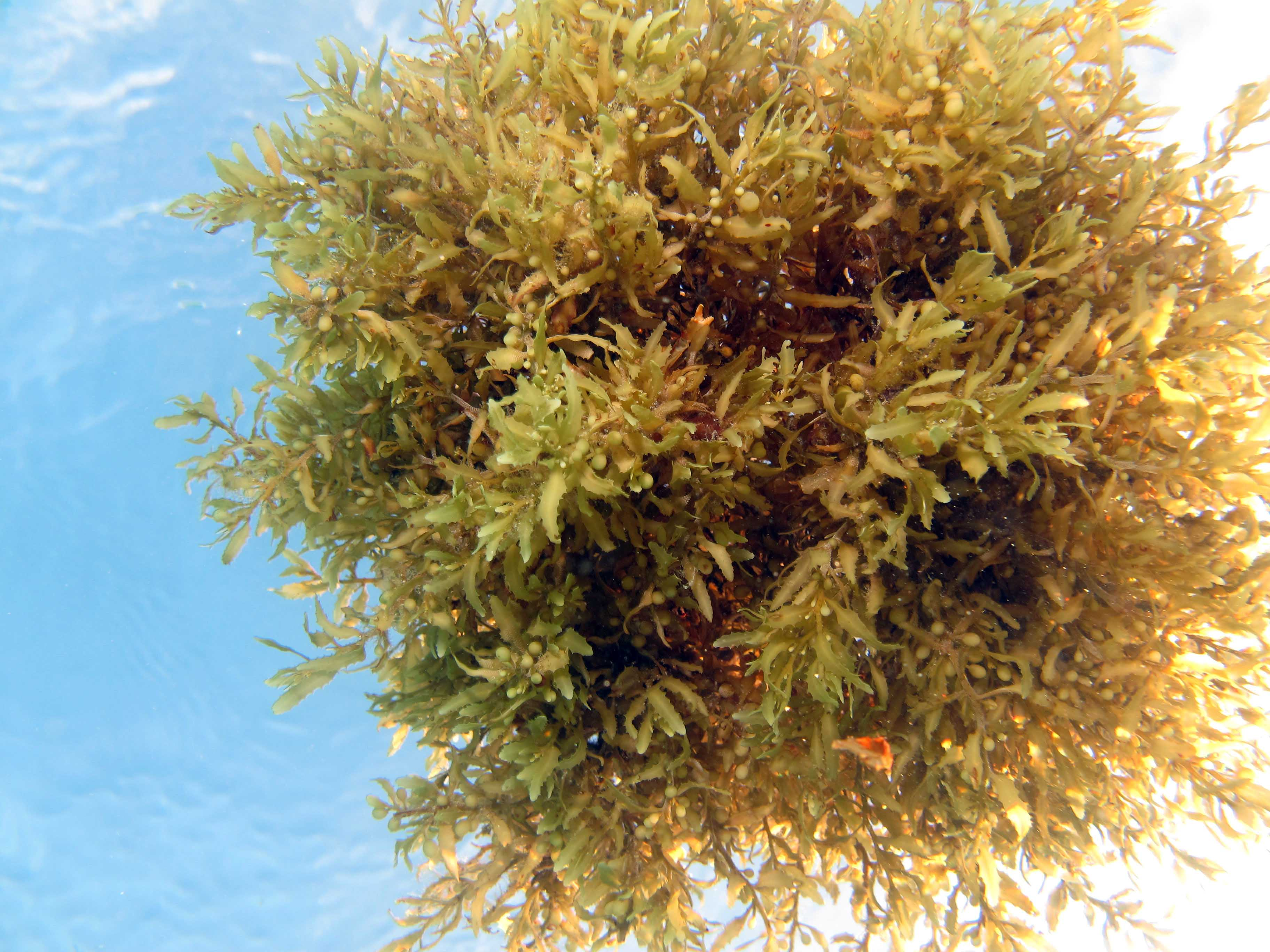 Sargassum forms dense clumps up to the size of a beach ball that slowly rotate as they drift. <div class='credit'><strong>Credit:</strong> Sargassum forms dense clumps up to the size of a beach ball that slowly rotate as they drift. </div>