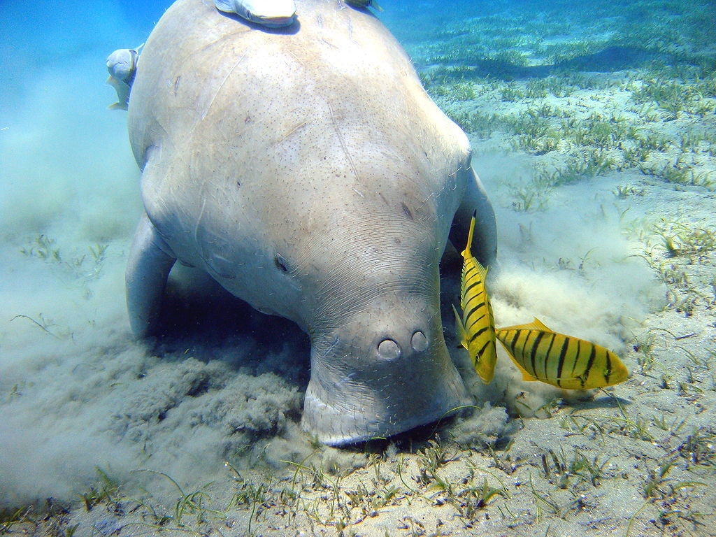 dugong feeds on seagrass in the Red Sea<div class='credit'><strong>Credit:</strong> dugong feeds on seagrass in the Red Sea</div>