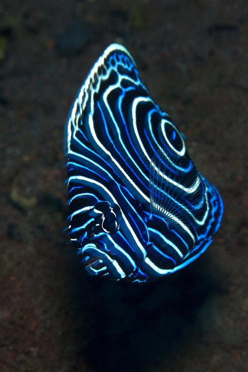 The rich colors of emperor angelfish make them a vibrant version of royalty. <div class='credit'><strong>Credit:</strong> The rich colors of emperor angelfish make them a vibrant version of royalty. </div>
