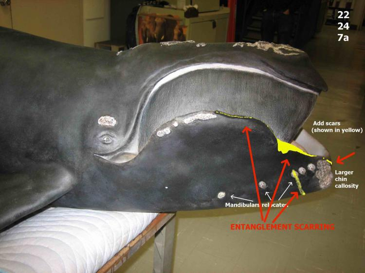 An early scale model of North Atlantic right whale Phoenix that was used to develop a life size model for the Smithsonian shows the location of scars on her mouth from entanglements with fishing gear.<div class='credit'><strong>Credit:</strong> An early scale model of North Atlantic right whale Phoenix that was used to develop a life size model for the Smithsonian shows the location of scars on her mouth from entanglements with fishing gear.</div>