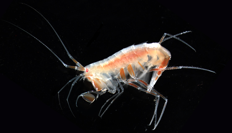 The amphipod Eusirus holmii inhabits sea ice, the water column and the sea floor<div class='credit'><strong>Credit:</strong> The amphipod Eusirus holmii inhabits sea ice, the water column and the sea floor</div>
