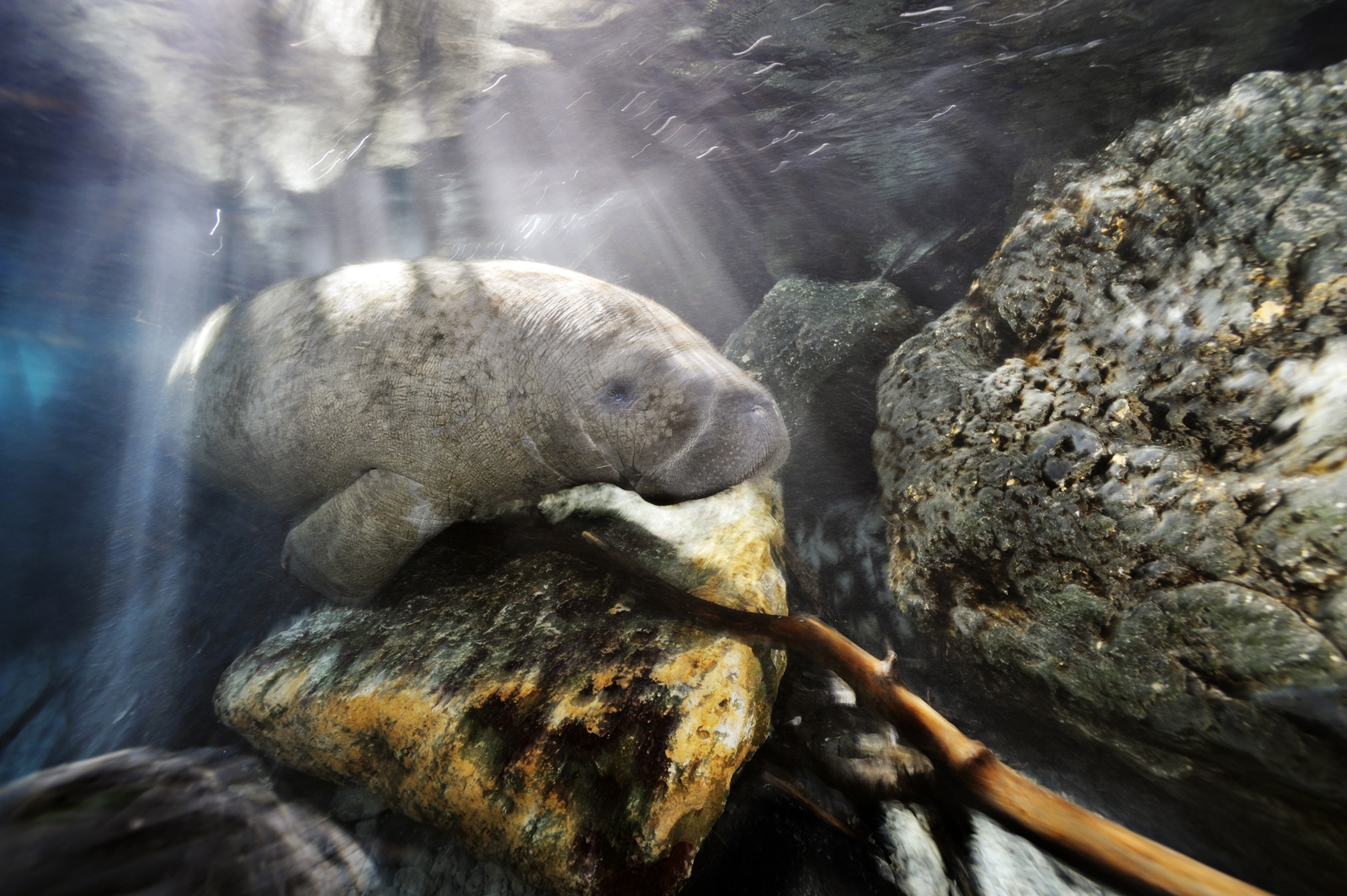 A Florida manatee swims through a channel into a freshwater spring late in the day.<div class='credit'><strong>Credit:</strong> A Florida manatee swims through a channel into a freshwater spring late in the day.</div>
