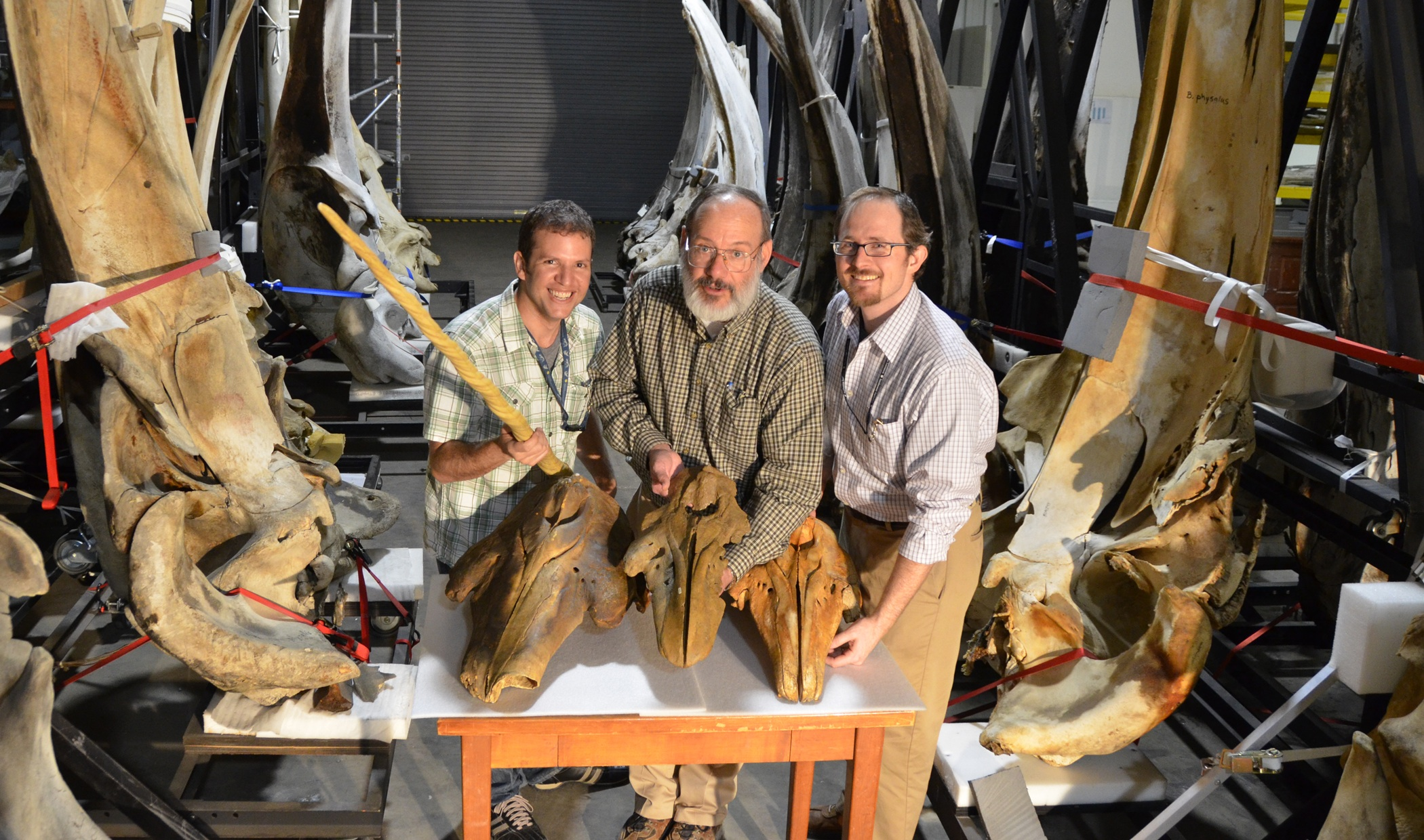 Smithsonian researchers with fossil whale skulls from the group Monodontidae<div class='credit'><strong>Credit:</strong> Smithsonian researchers with fossil whale skulls from the group Monodontidae</div>