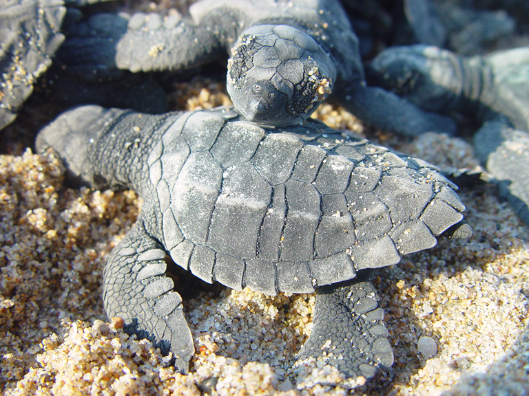 A photo of baby sea turtles on a beach in Jalisco, Mexico.<div class='credit'><strong>Credit:</strong> A photo of baby sea turtles on a beach in Jalisco, Mexico.</div>