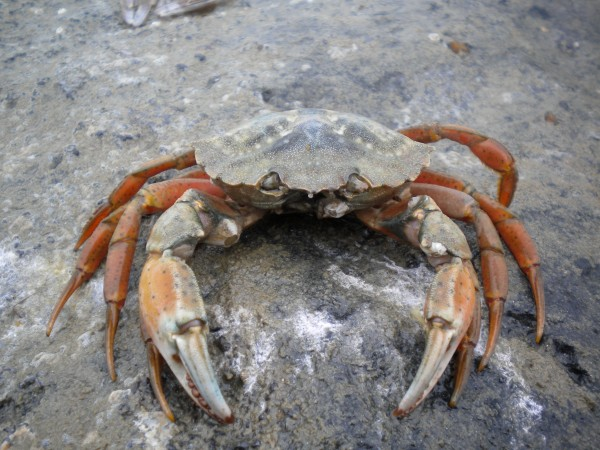 A photo of a solitary European green crab on a sandy substrate.<div class='credit'><strong>Credit:</strong> A photo of a solitary European green crab on a sandy substrate.</div>