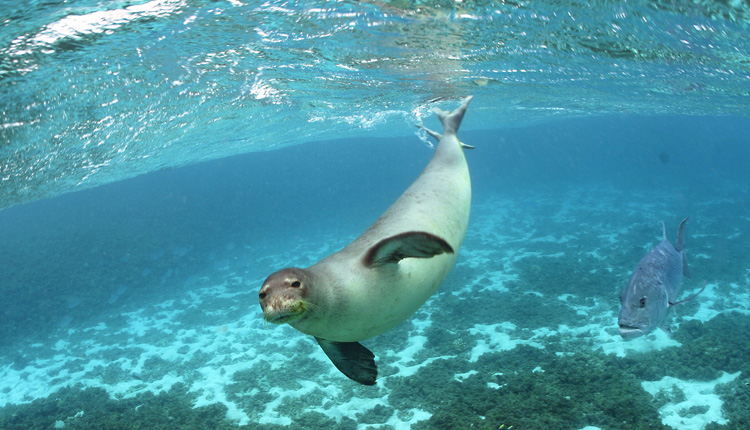 Hawaiian Monk Seal<div class='credit'><strong>Credit:</strong> Hawaiian Monk Seal</div>