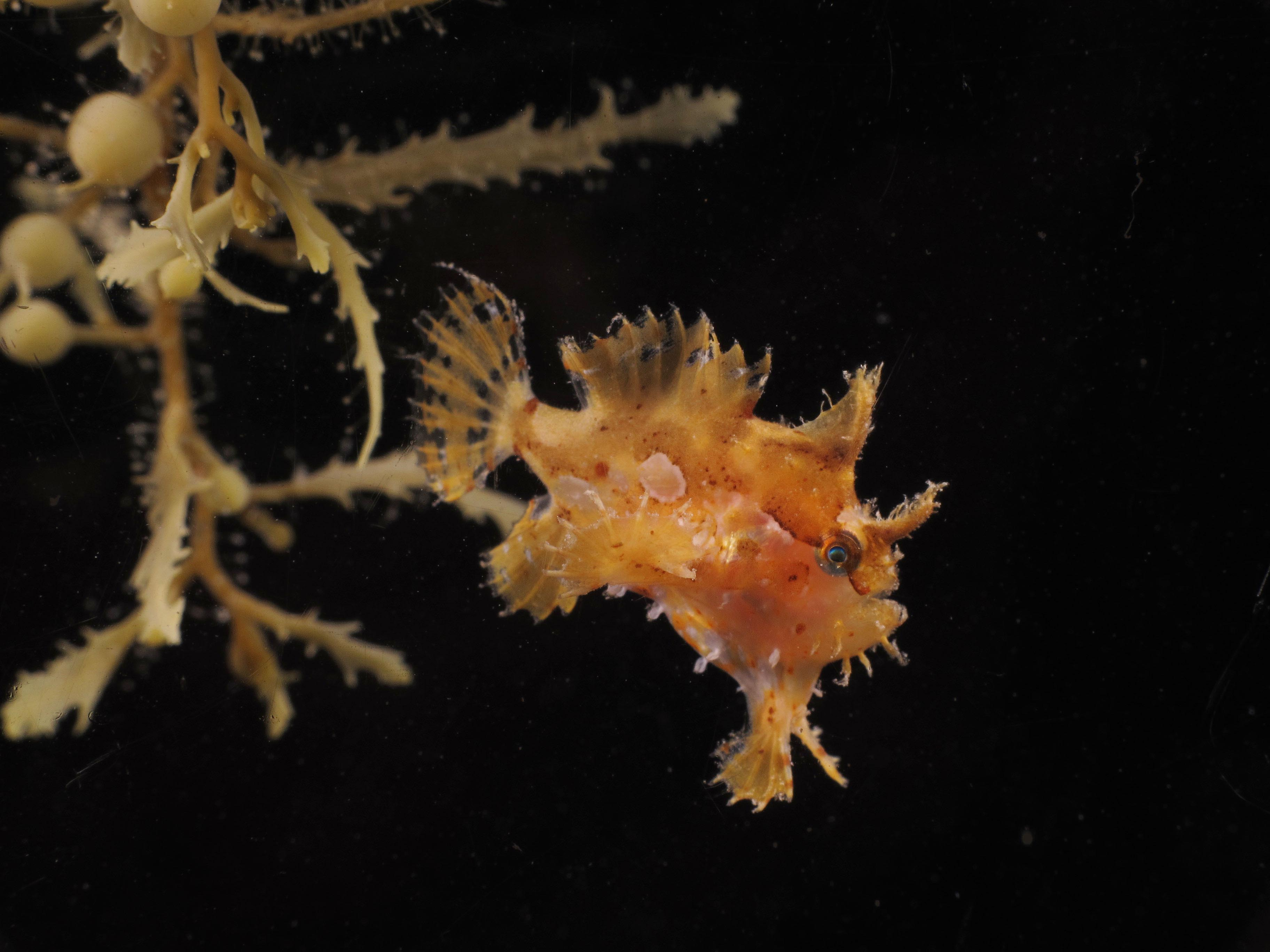 The fins of the frogfish are perfect for creeping around in the algae and stalking unsuspecting prey.<div class='credit'><strong>Credit:</strong> The fins of the frogfish are perfect for creeping around in the algae and stalking unsuspecting prey.</div>