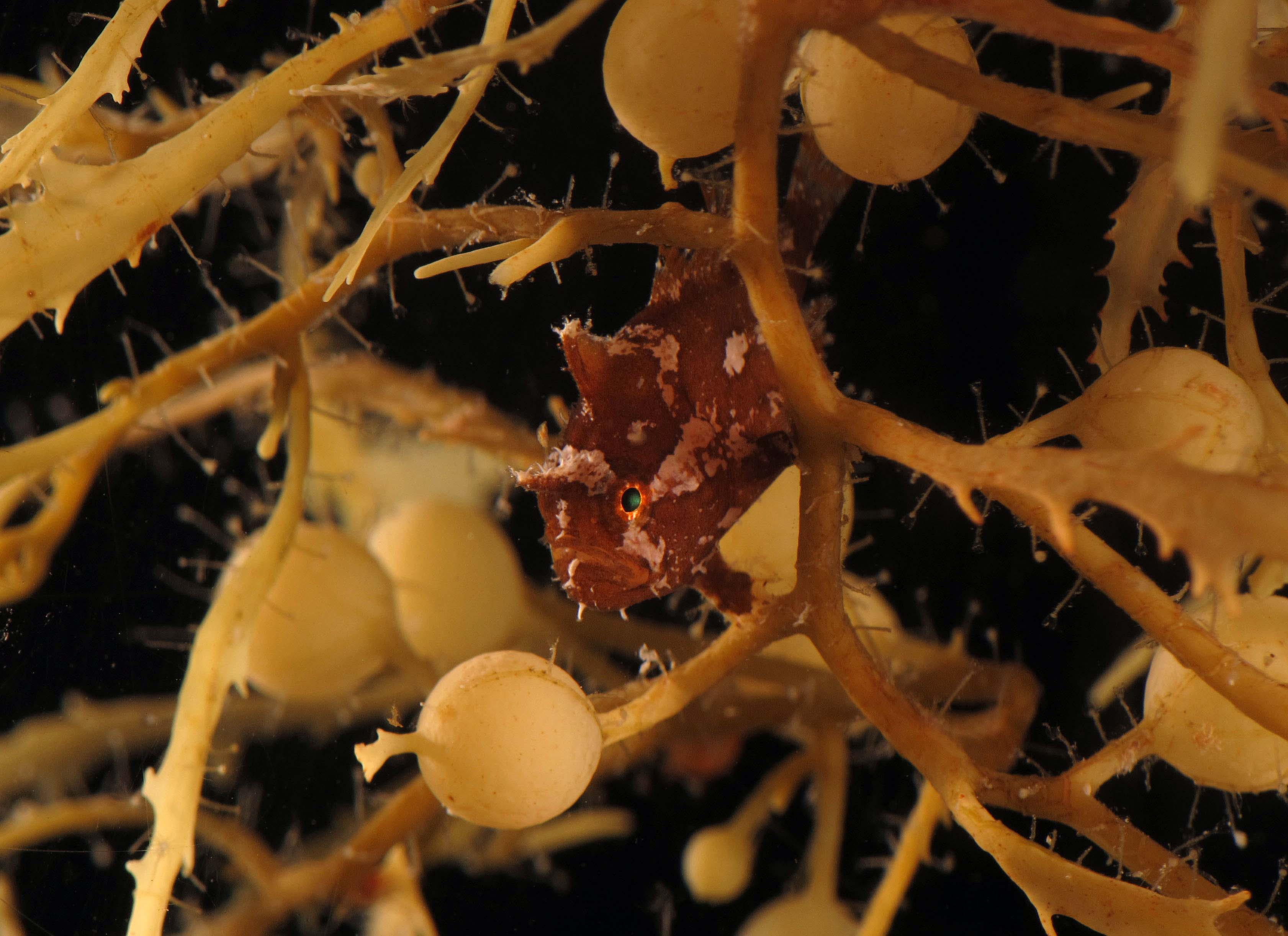 The Sargassum frogfish is a small but voracious predator - it can ingest animals up to it's own size!<div class='credit'><strong>Credit:</strong> The Sargassum frogfish is a small but voracious predator - it can ingest animals up to it's own size!</div>