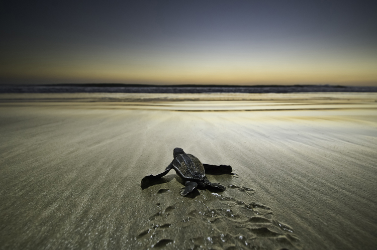Leatherback Sea Turtle, Playa Grande, Costa Rica<div class='credit'><strong>Credit:</strong> Leatherback Sea Turtle, Playa Grande, Costa Rica</div>