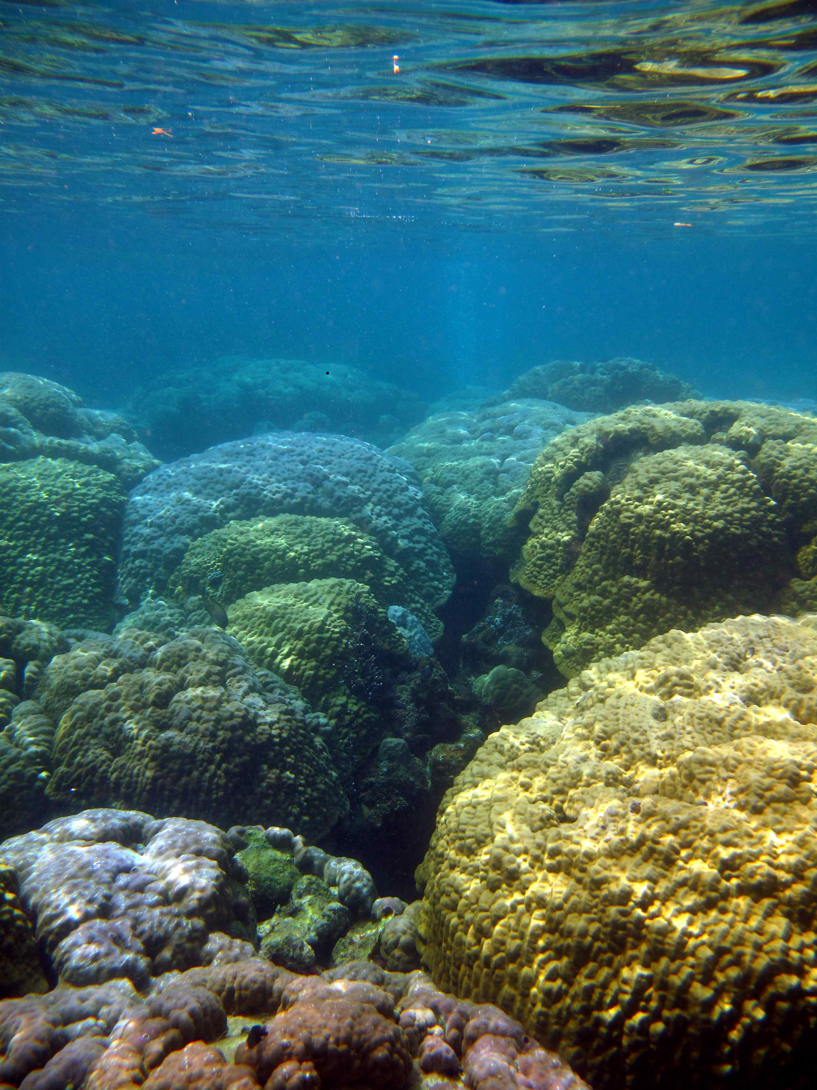 "But closer to the CO2 seeps, the complex reef has been replaced by a ""monoculture"" of boulder corals.<div class='credit'><strong>Credit:</strong> But closer to the CO2 seeps, the complex reef has been replaced by a ""monoculture"" of boulder corals.</div>"