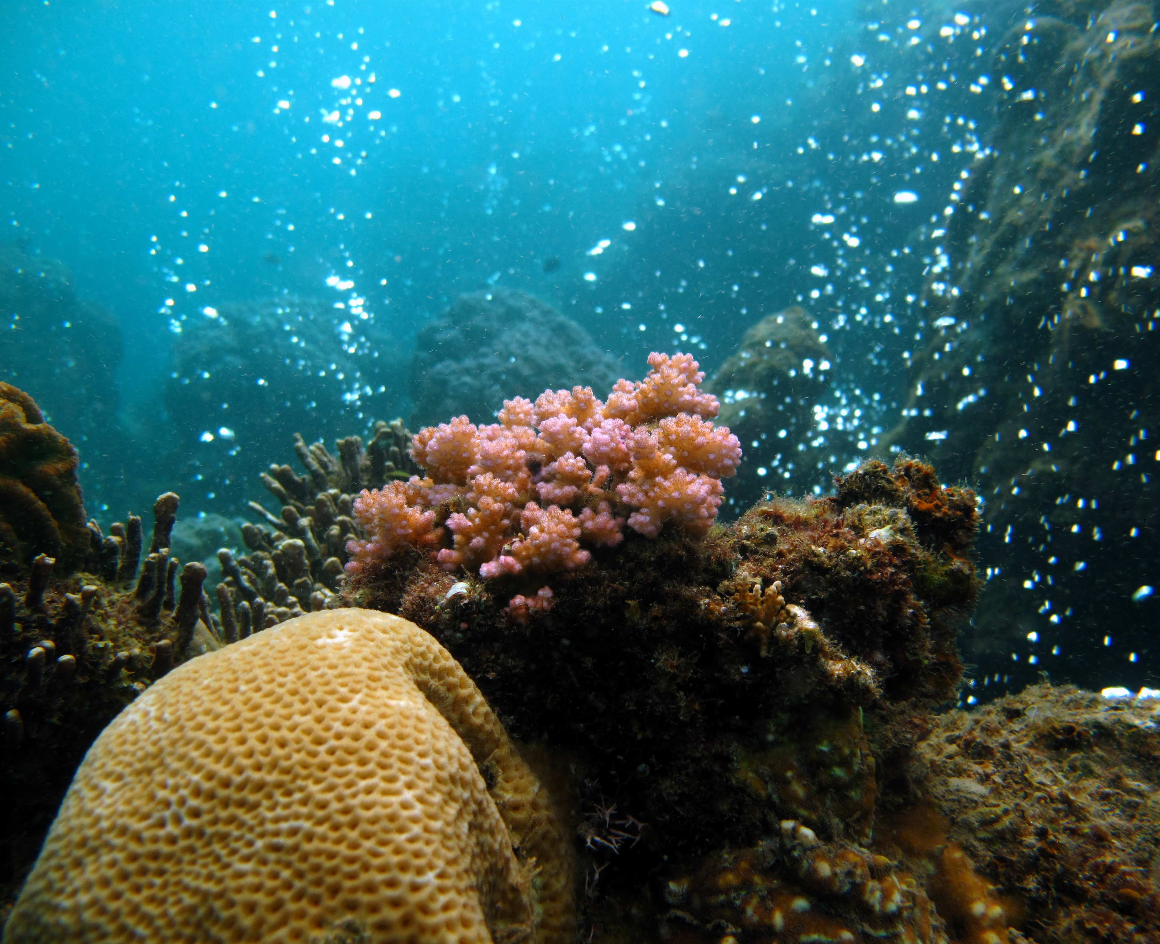 Branching corals, because of their more fragile structure, struggle to live in acidified waters<div class='credit'><strong>Credit:</strong> Branching corals, because of their more fragile structure, struggle to live in acidified waters</div>