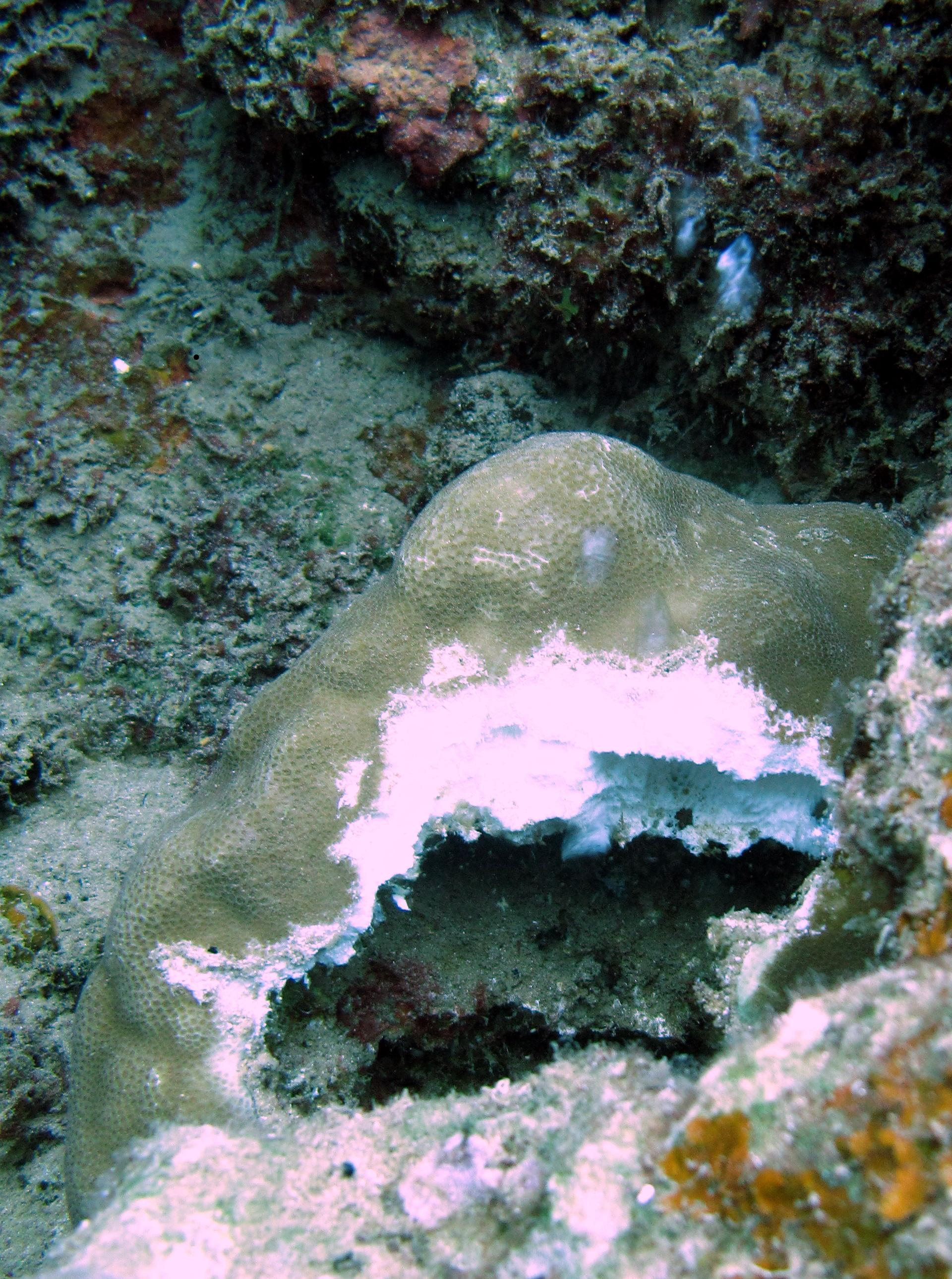 Acidic waters are also able to completely dissolve coral skeletons. <div class='credit'><strong>Credit:</strong> Acidic waters are also able to completely dissolve coral skeletons. </div>