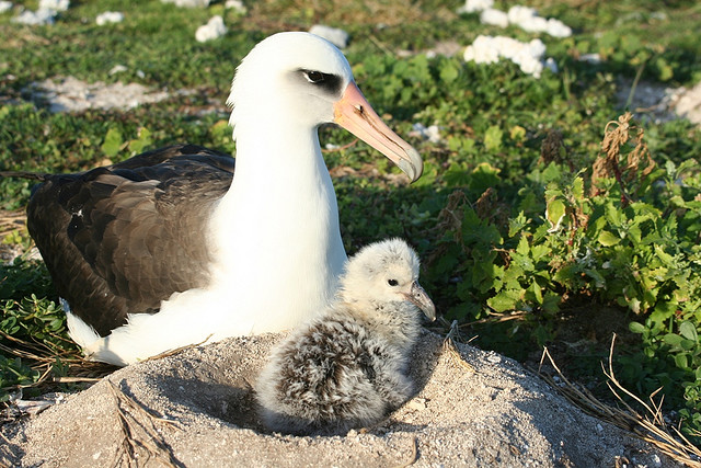 Laysan albatross with a chick. <div class='credit'><strong>Credit:</strong> Laysan albatross with a chick. </div>