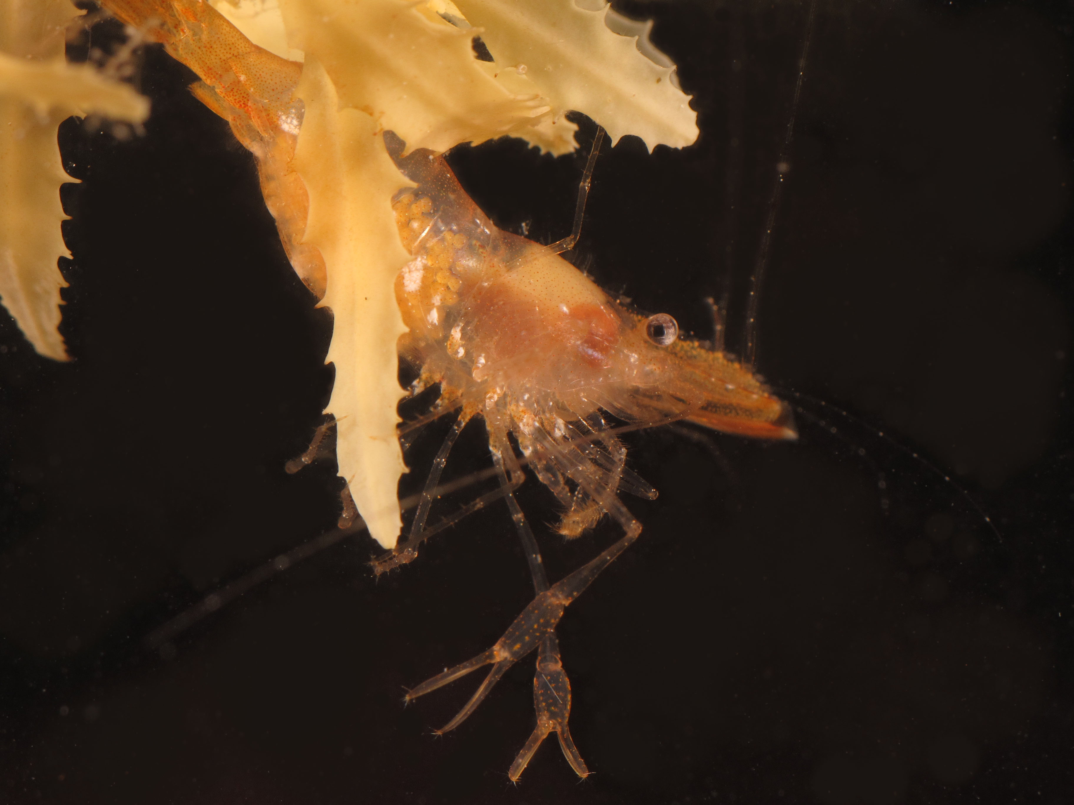 "This shrimp species can be spotted by its long transparent claws or ""chelae"". <div class='credit'><strong>Credit:</strong> This shrimp species can be spotted by its long transparent claws or ""chelae"". </div>"