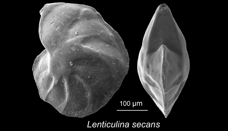 "Lenticulina secans-- this ""benthic"" foram lives on the seafloor. This specimen was collected from southeastern Tanzania.<div class='credit'><strong>Credit:</strong> Lenticulina secans-- this ""benthic"" foram lives on the seafloor. This specimen was collected from southeastern Tanzania.</div>"