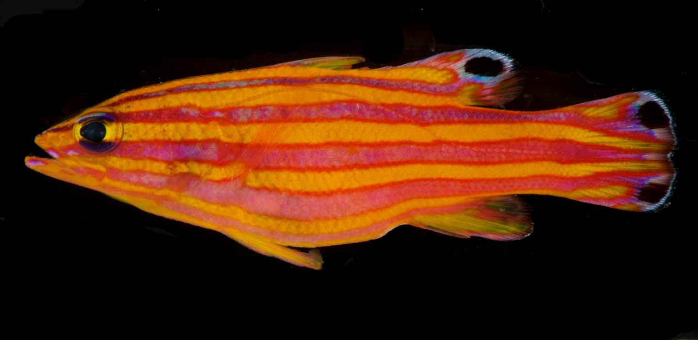 A photo of a candy basslet, an orange and yellow-striped fish.<div class='credit'><strong>Credit:</strong> A photo of a candy basslet, an orange and yellow-striped fish.</div>