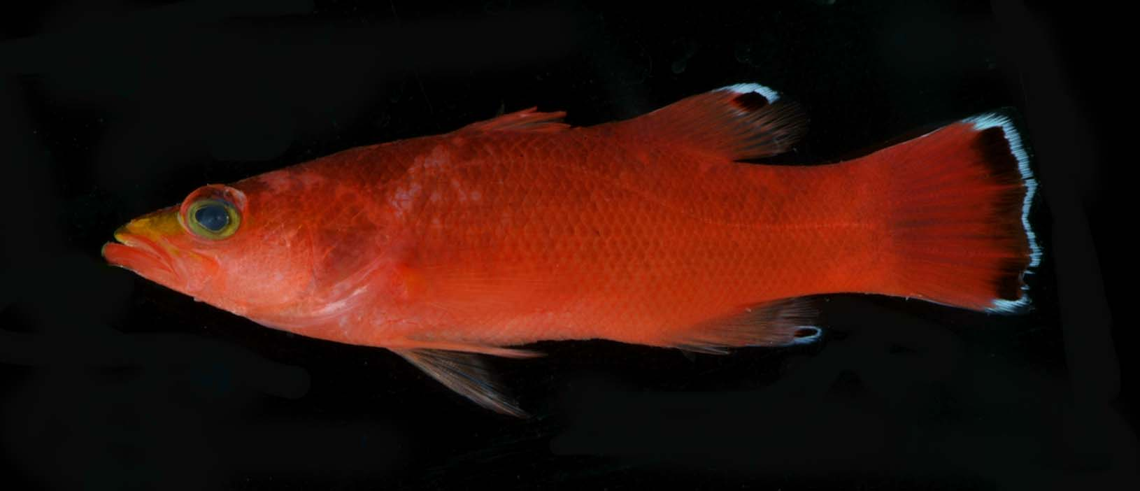 A photo of a cave basslet.<div class='credit'><strong>Credit:</strong> A photo of a cave basslet.</div>