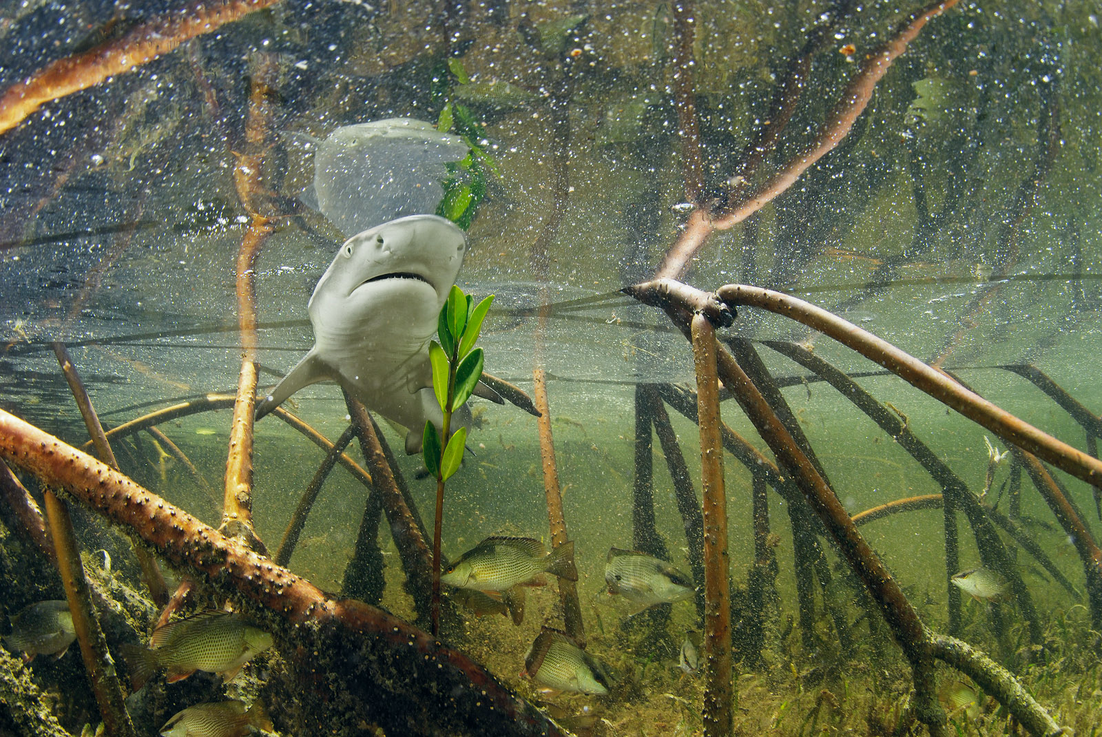 A lemon shark pup swims through its shallow mangrove nursery off the coast of Bimini Island in the Bahamas.<div class='credit'><strong>Credit:</strong> A lemon shark pup swims through its shallow mangrove nursery off the coast of Bimini Island in the Bahamas.</div>