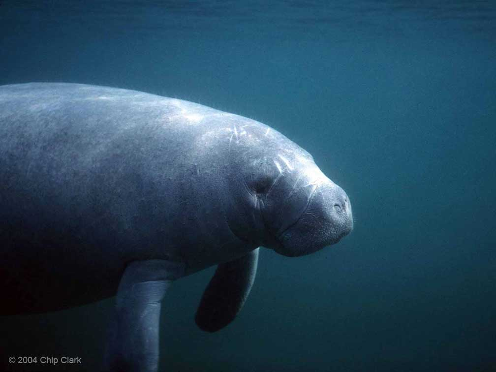 West Indian Manatee<div class='credit'><strong>Credit:</strong> West Indian Manatee</div>