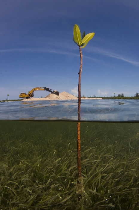 A lone mangrove shoot stands in the path of development in the Bahamas.<div class='credit'><strong>Credit:</strong> A lone mangrove shoot stands in the path of development in the Bahamas.</div>