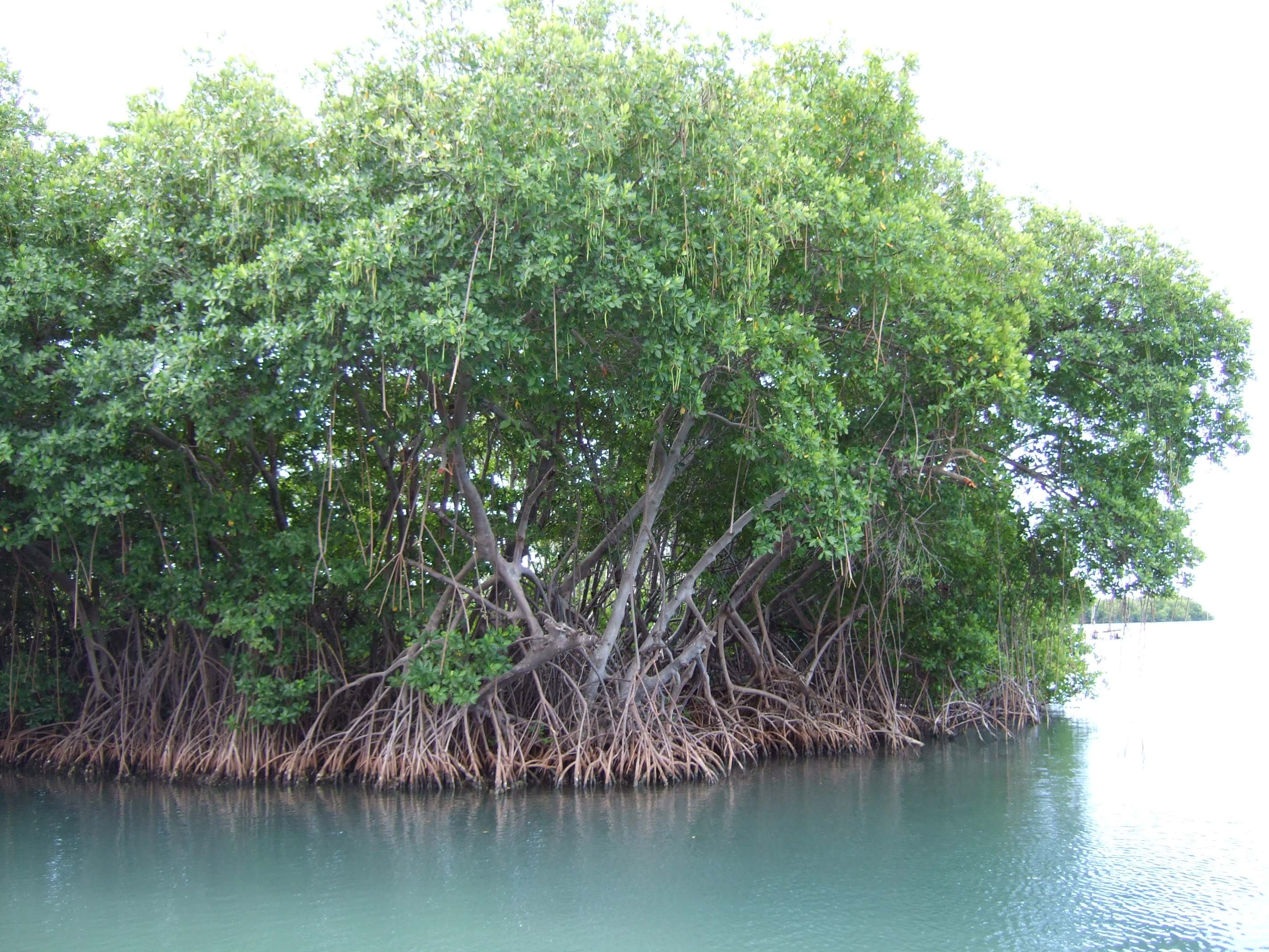 Mangrove roots provide an underwater habitat for many marine species.<div class='credit'><strong>Credit:</strong> Mangrove roots provide an underwater habitat for many marine species.</div>