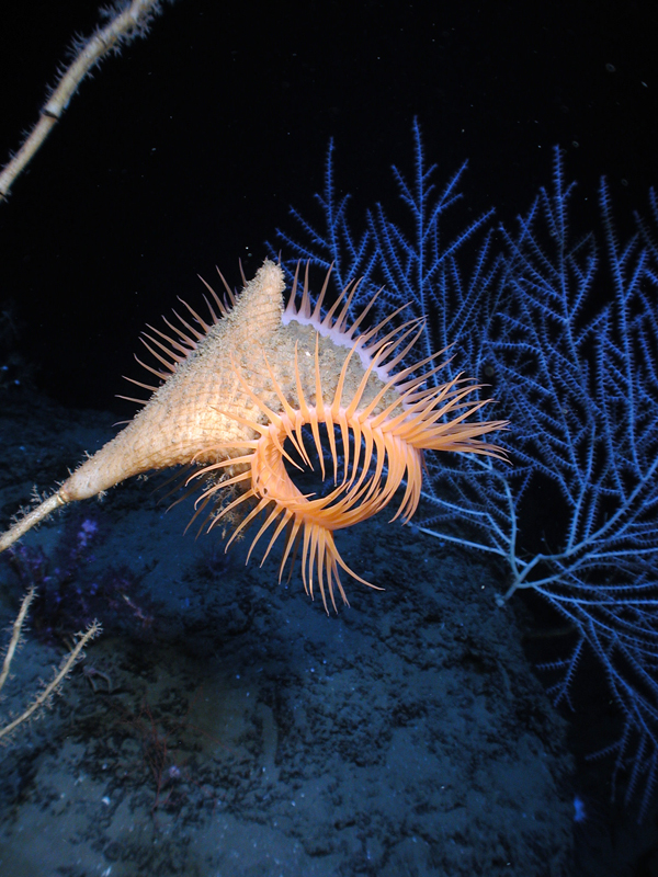 Venus fly-trap anemone in the Gulf of Mexico<div class='credit'><strong>Credit:</strong> Venus fly-trap anemone in the Gulf of Mexico</div>