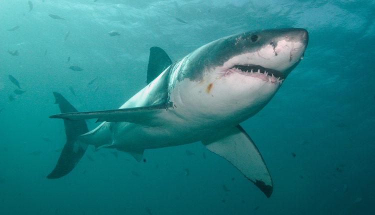 Great White Sharks are powerful swimmers, capable of going 50 kph/35 mph.<div class='credit'><strong>Credit:</strong> Great White Sharks are powerful swimmers, capable of going 50 kph/35 mph.</div>