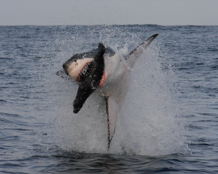 A frame-by-frame view of a Great White Shark breach- frame 1.<div class='credit'><strong>Credit:</strong> A frame-by-frame view of a Great White Shark breach- frame 1.</div>