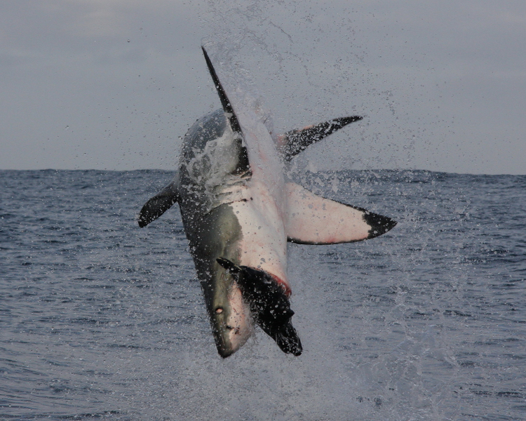 Great White Shark breaching<div class='credit'><strong>Credit:</strong> Great White Shark breaching</div>
