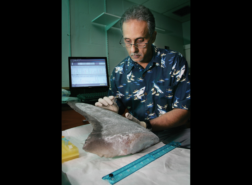A geneticist samples shark DNA<div class='credit'><strong>Credit:</strong> A geneticist samples shark DNA</div>