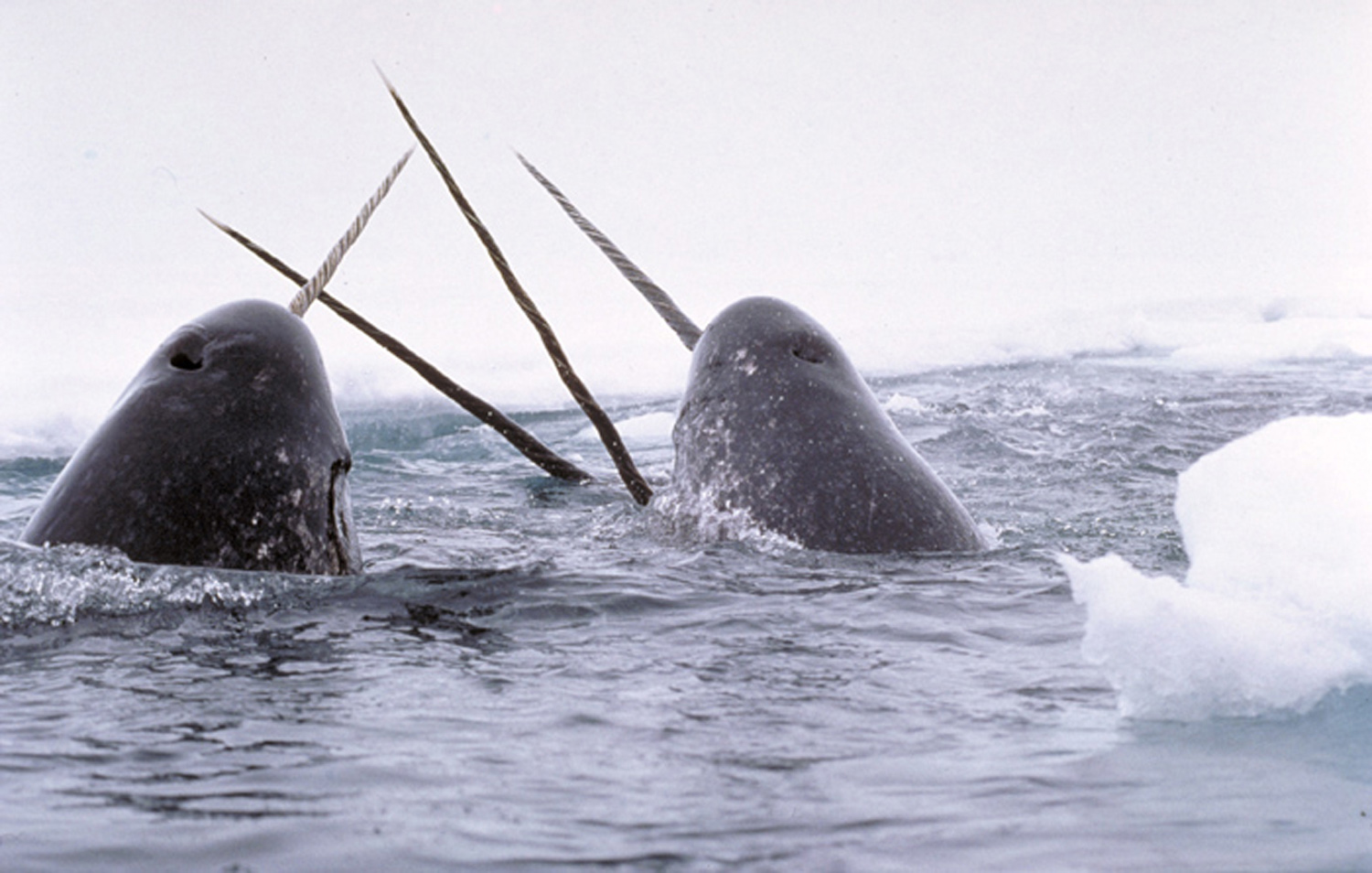 Narwhals with their long unicorn-like tusks. <div class='credit'><strong>Credit:</strong> Narwhals with their long unicorn-like tusks. </div>