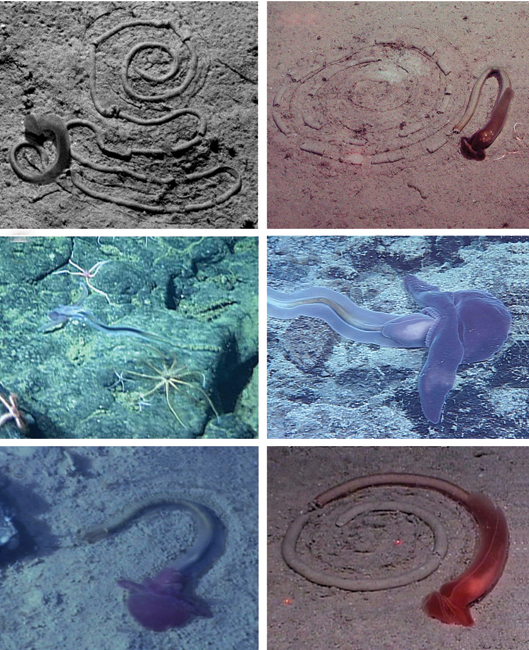 These wormlike animals make spiral tracks on the sea floor.<div class='credit'><strong>Credit:</strong> These wormlike animals make spiral tracks on the sea floor.</div>