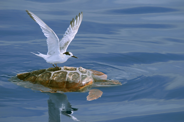 Tern and Loggerhead Sea Turtle, São Miguel Island, Azores, Portugal<div class='credit'><strong>Credit:</strong> Tern and Loggerhead Sea Turtle, São Miguel Island, Azores, Portugal</div>