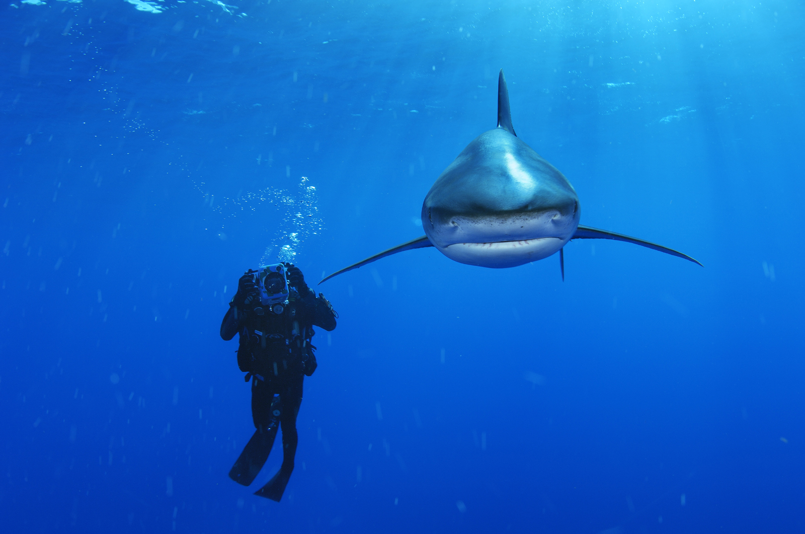 An oceanic whitetip shark swims near a biologist in the Bahamas.<div class='credit'><strong>Credit:</strong> An oceanic whitetip shark swims near a biologist in the Bahamas.</div>