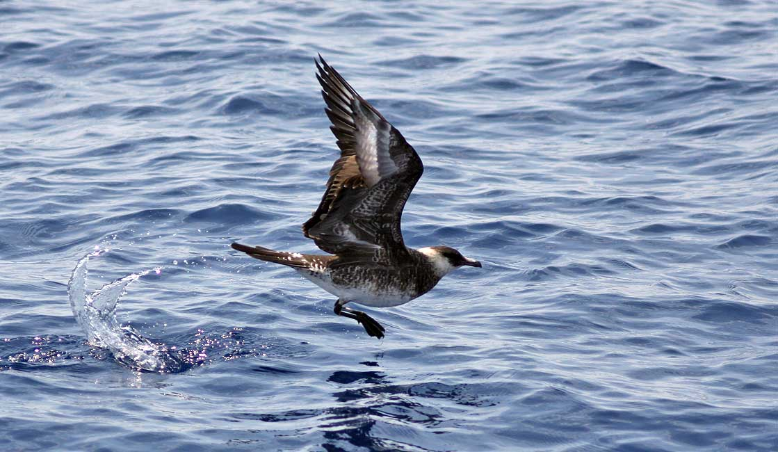 Pomarine Jaeger Skims the Surface<div class='credit'><strong>Credit:</strong> Pomarine Jaeger Skims the Surface</div>