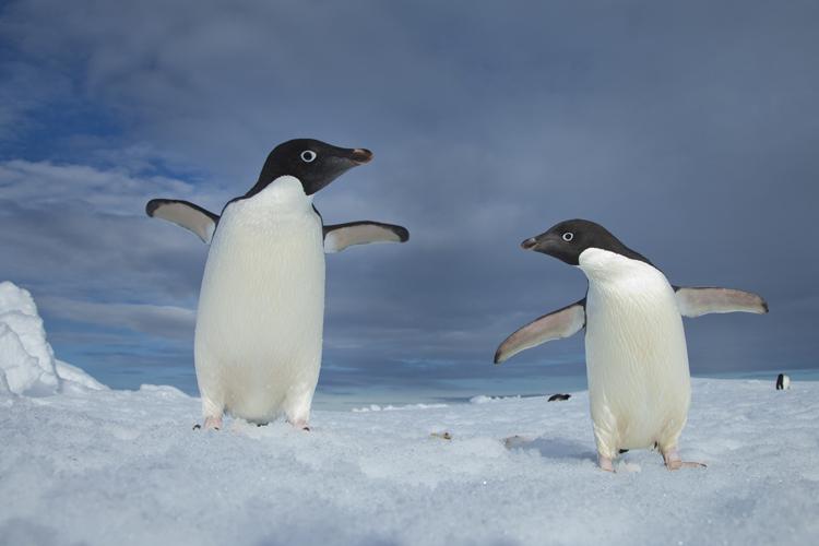 Adélie Penguins, Paulet Island, Antarctica <div class='credit'><strong>Credit:</strong> Adélie Penguins, Paulet Island, Antarctica </div>