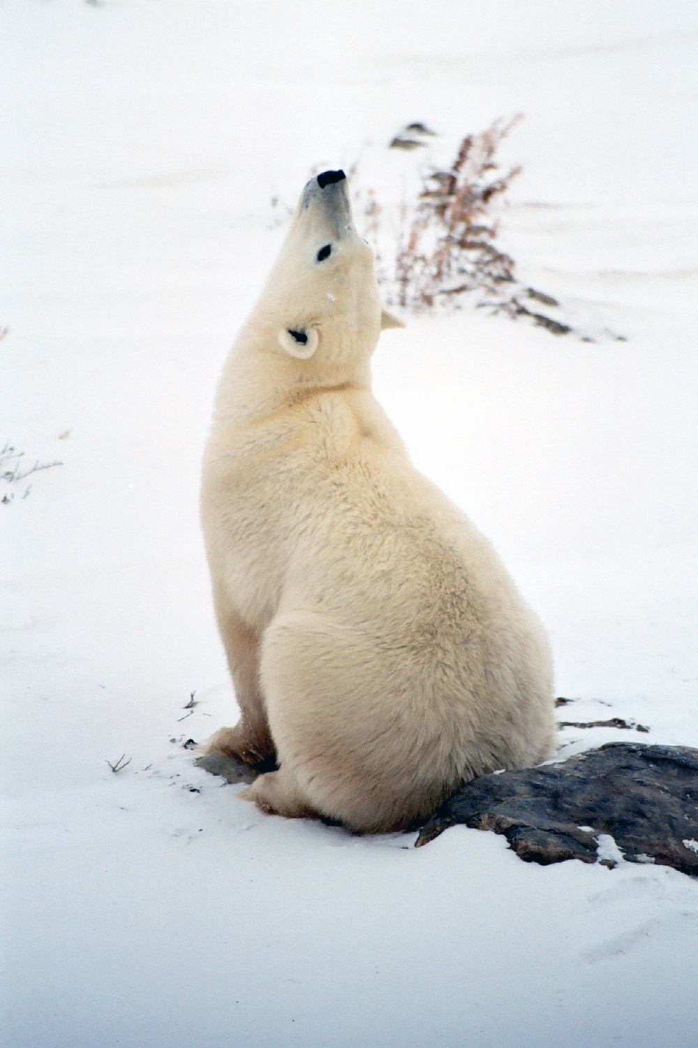 A polar bear lifting his head to smell the scent of humans nearby<div class='credit'><strong>Credit:</strong> A polar bear lifting his head to smell the scent of humans nearby</div>