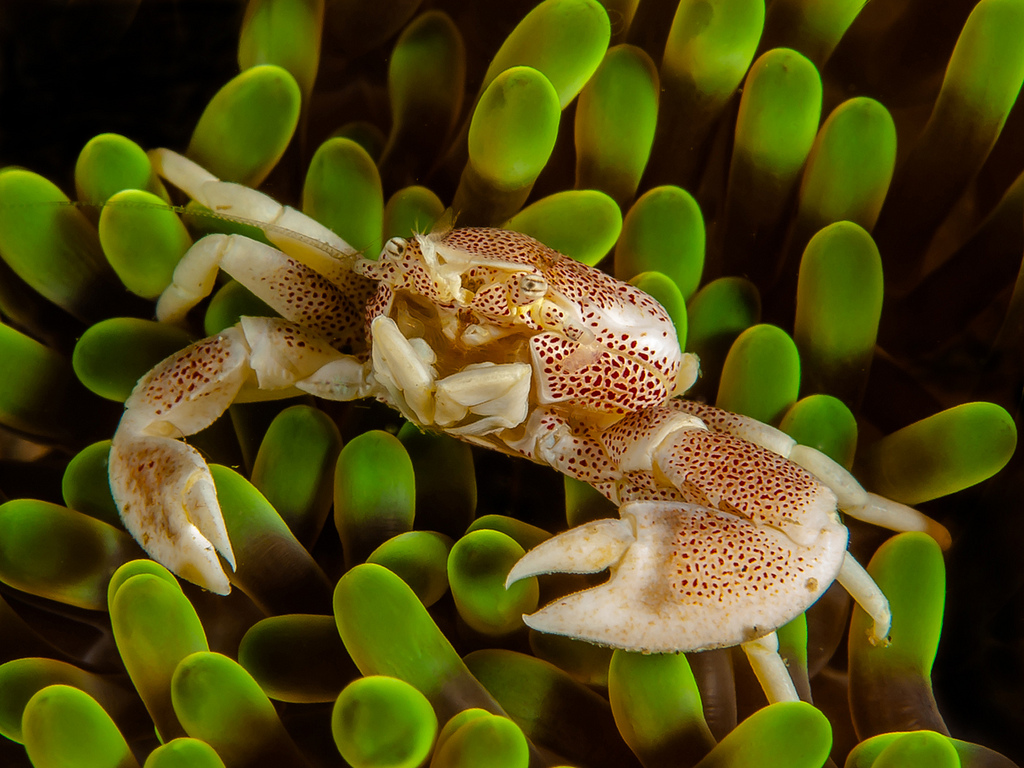 Anemone porcelain crabs can avoid predators by not only living in anemones but by willing loosing appendages to avoid infection.<div class='credit'><strong>Credit:</strong> Anemone porcelain crabs can avoid predators by not only living in anemones but by willing loosing appendages to avoid infection.</div>