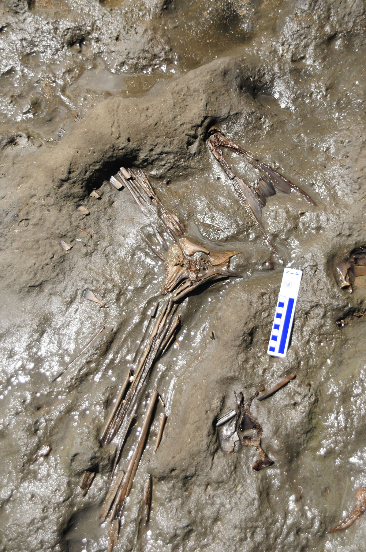 Complete Fish Skeleton Discovered by Smithsonian Scientists in Panama<div class='credit'><strong>Credit:</strong> Complete Fish Skeleton Discovered by Smithsonian Scientists in Panama</div>