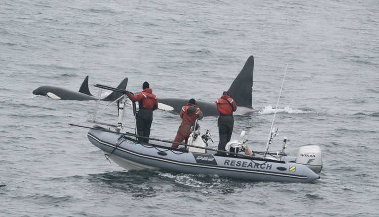 Three Killer whales (Orca) swim along side researchers.<div class='credit'><strong>Credit:</strong> Three Killer whales (Orca) swim along side researchers.</div>