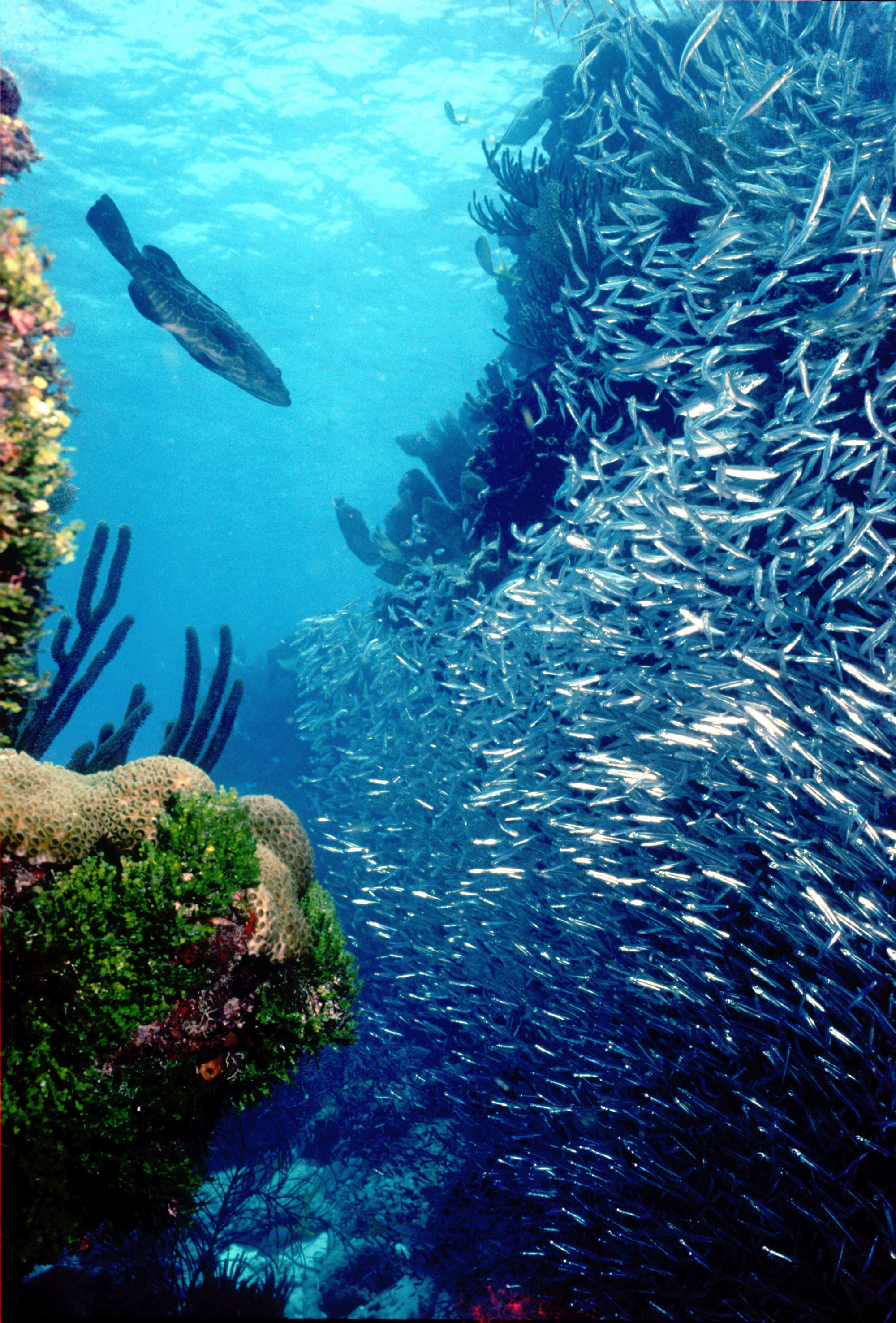 Coral reefs provide food for swarms of fish, both large and small.<div class='credit'><strong>Credit:</strong> Coral reefs provide food for swarms of fish, both large and small.</div>