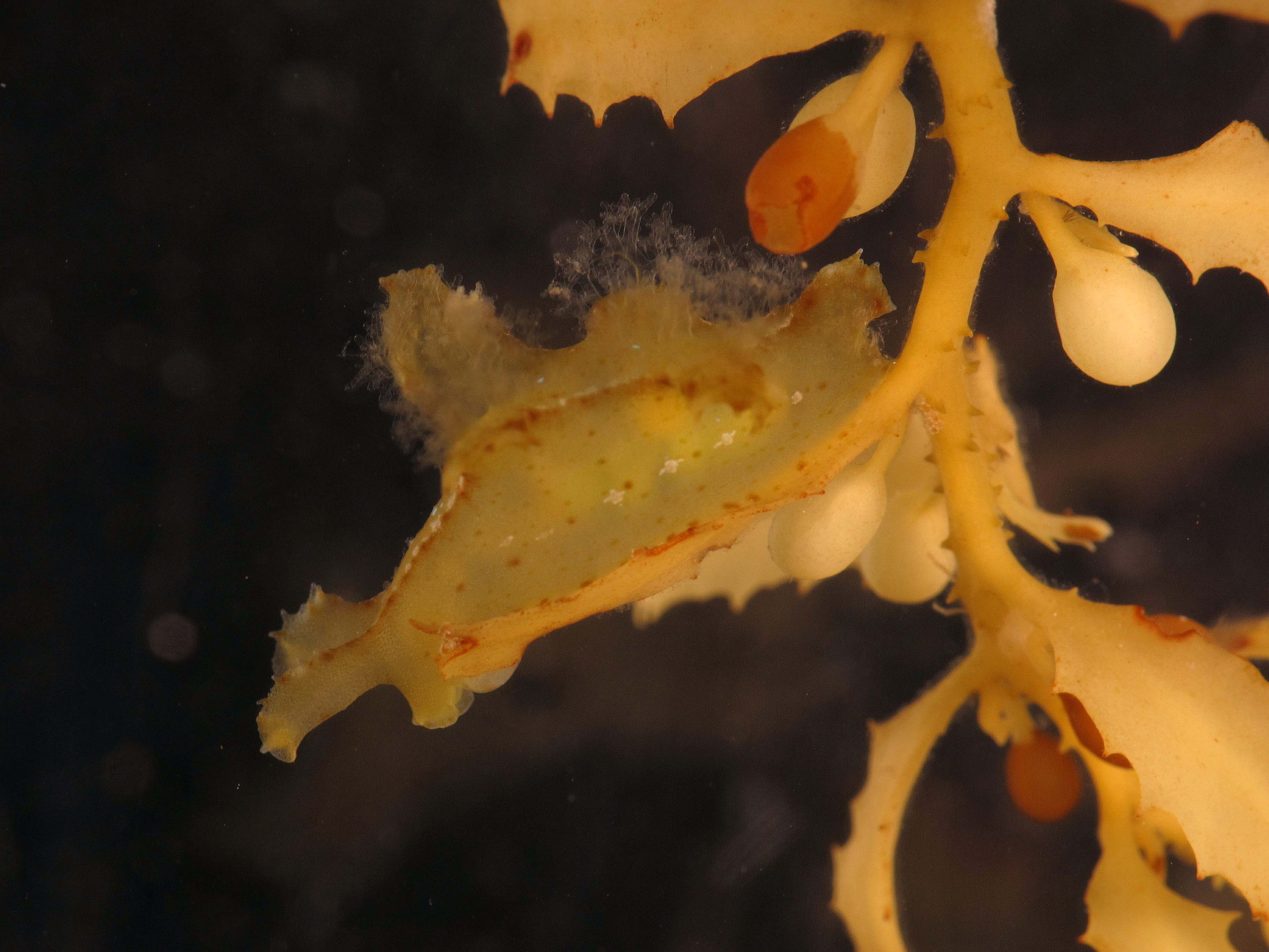 Winner of the 'best camoflauge' contest, the nudibranch Scyllaea pelagica is betrayed only by motion.<div class='credit'><strong>Credit:</strong> Winner of the 'best camoflauge' contest, the nudibranch Scyllaea pelagica is betrayed only by motion.</div>