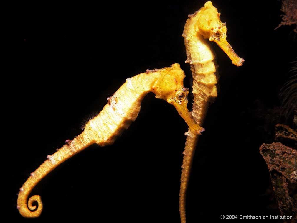 Longsnout Seahorse<div class='credit'><strong>Credit:</strong> Longsnout Seahorse</div>