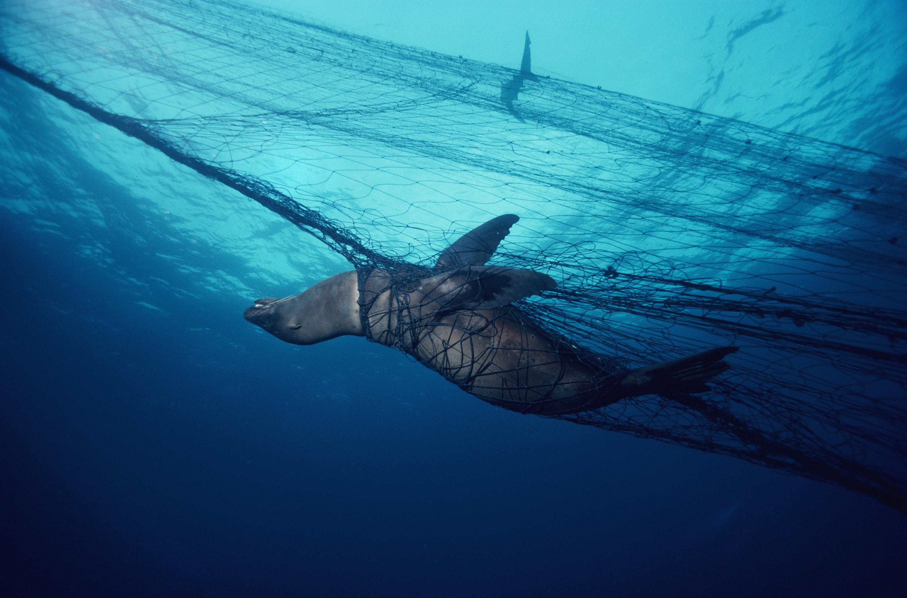 Russian president vladimir putin bans the ecologically for Drift net fishing