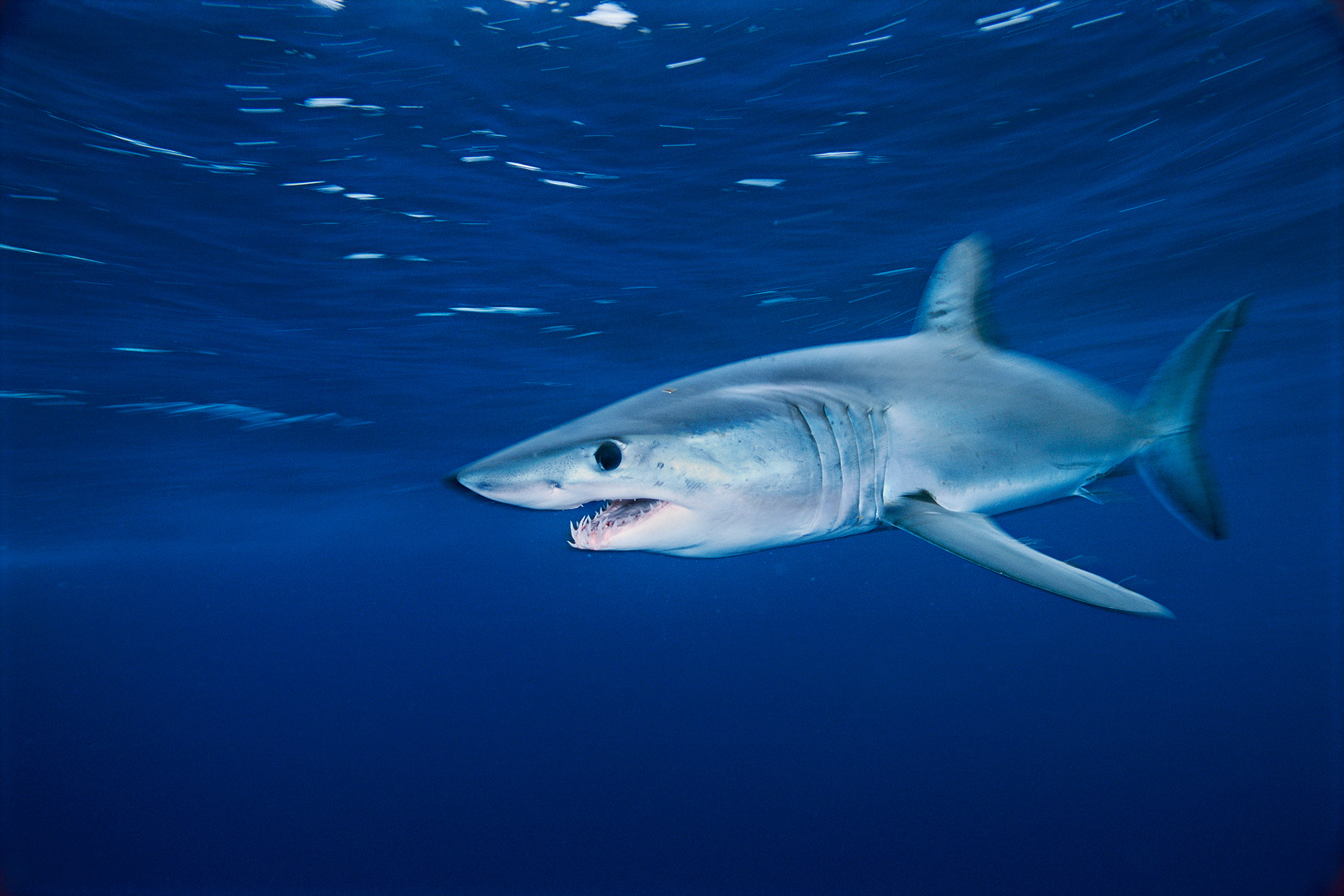 A shortfin mako glides through the waters off the coast of California.<div class='credit'><strong>Credit:</strong> A shortfin mako glides through the waters off the coast of California.</div>
